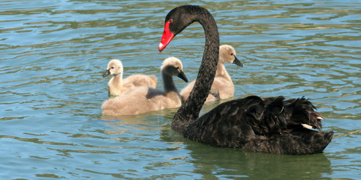 Black Swans and the Problem of Induction